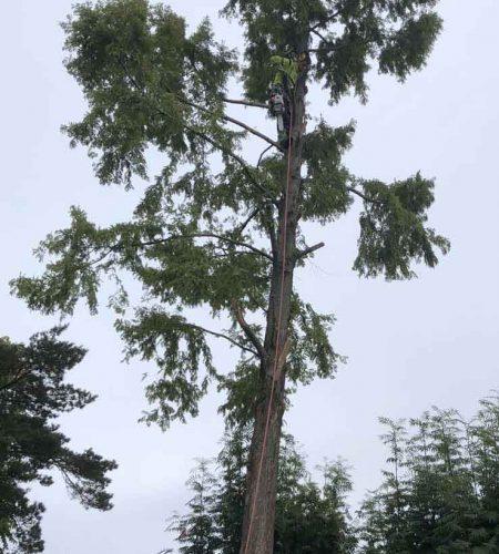 Trädfällning Trelleborgs Kommun